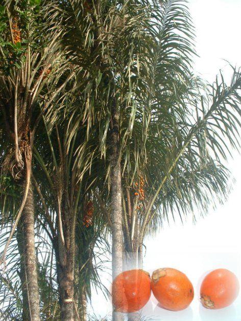 palmier guyane 6 lettres