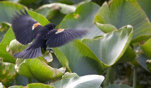 400-1 Red-winged Blackbird Agelaius phoeniceus (1)
