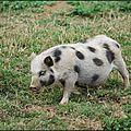 Porc nain du vietnam