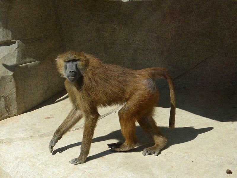 babouin guinée3