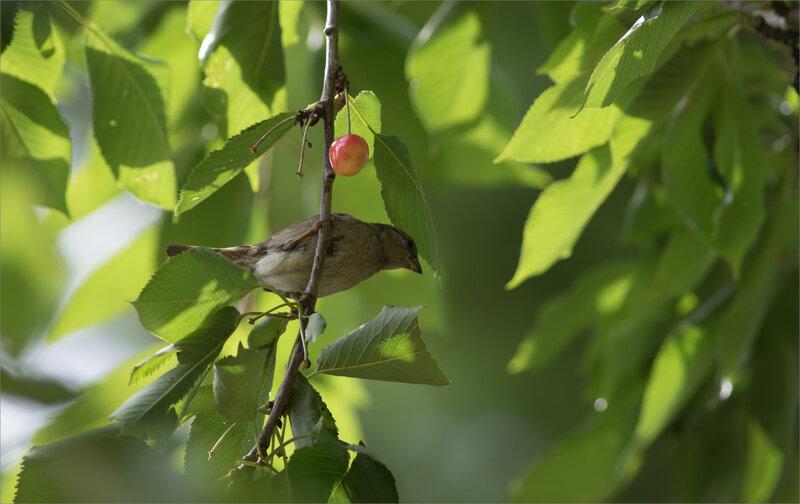 Cerisier oiseaux moineau 190620 2 ym