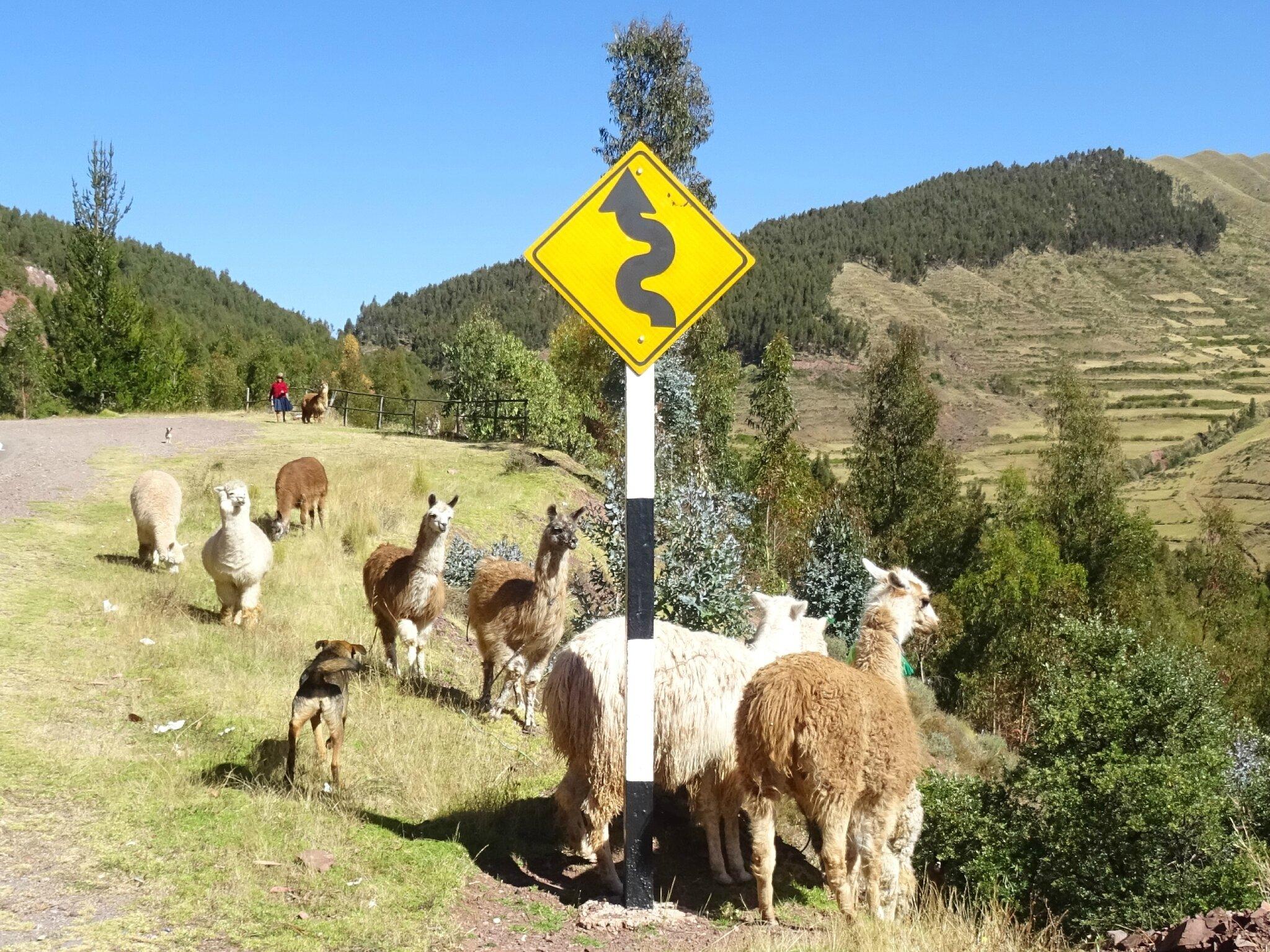Lamas sur la route de Pisac