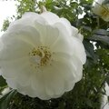 roses-blanches-mai (4)