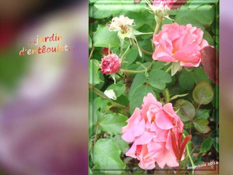 balanicole_2016_11_les nouveaux rosiers de balanicole_e comme jardin d'entêoulet_17