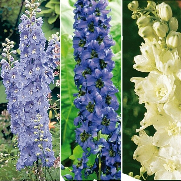 collection-delphinium-7250-1