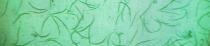 Nématodes