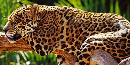 jaguar_59840_132859