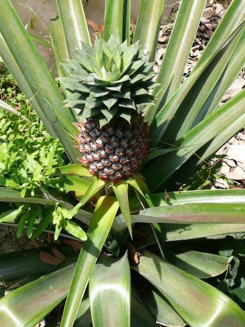 Plan d'ananas