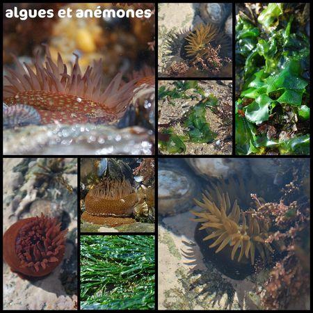 algues_et_anemones
