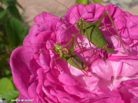 Leptophyie ponctuée • Leptophyes punctatissima (mâle et femelle)