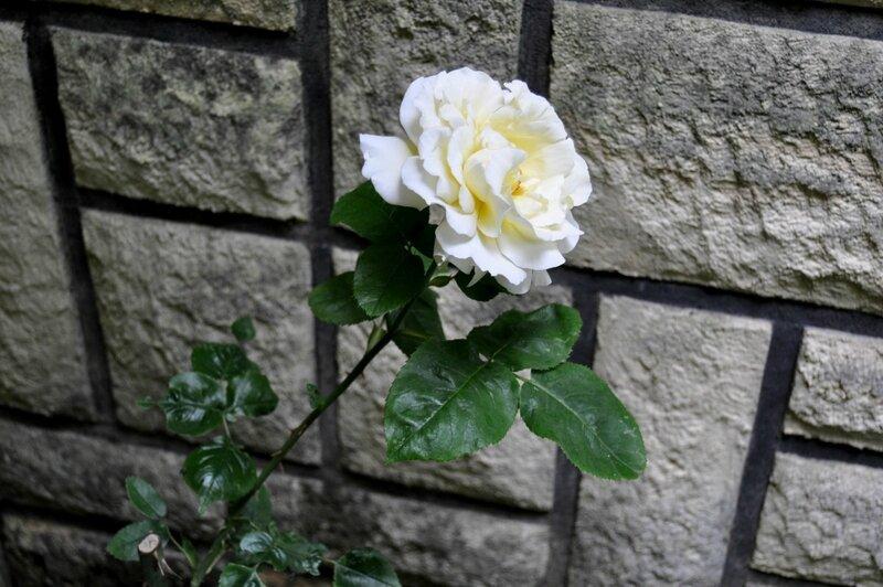 Roses_Jaunes (2)