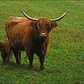 Aurochs ou agneaux de lait ?