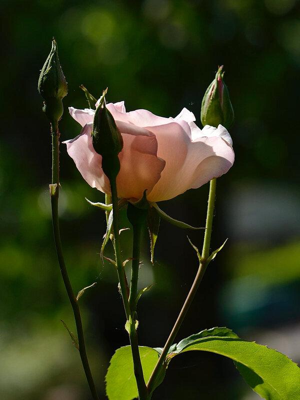 Rose Sophie 1 21-05-18