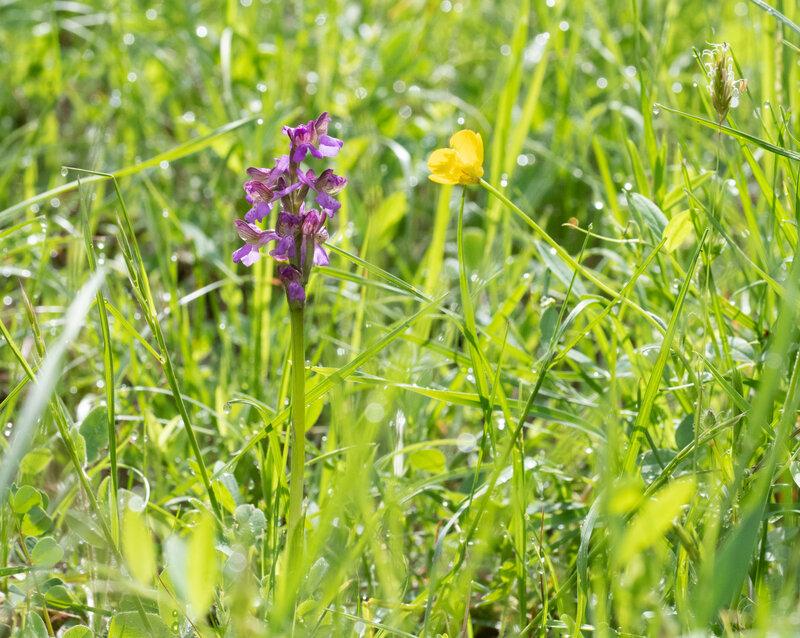 Orchis bouffon - Anacamptis morio (4)