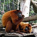 singes-hurleurs-roux-