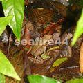 arenal_rando cerro chato_common dink frog_02