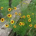 2008 09 03 Mes Coreopsis grandiflora 'Domino' en fleurs