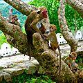 singe sur les hauteurs - Dambulla