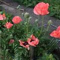 2009 06 04 Mes pavots d'Orients en fleurs