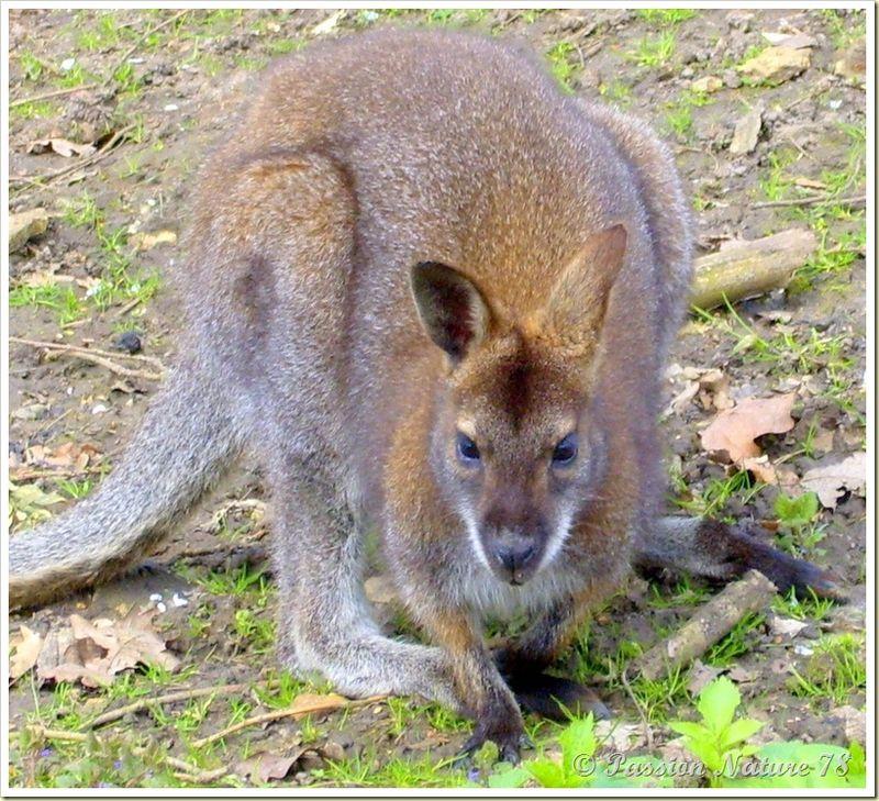 wallabies de la forêt de Rambouillet (14)
