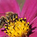 abeille mélifére 2