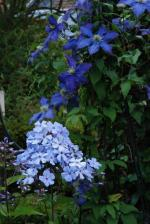 2014_0626-Plox 'Blue Evening-Clematis 'Rhapsody'
