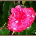 Camélia rose foncé taches blanches
