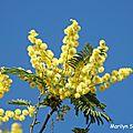 Louloute et les poules sous les mimosas