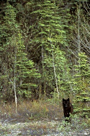 BLACK_WOLF_FOREST