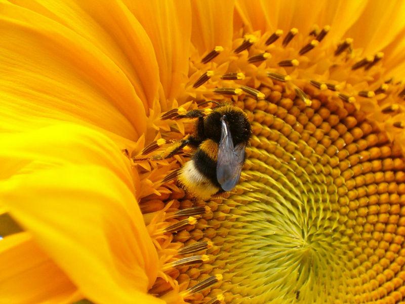 abeille_butinant_un_tournesol
