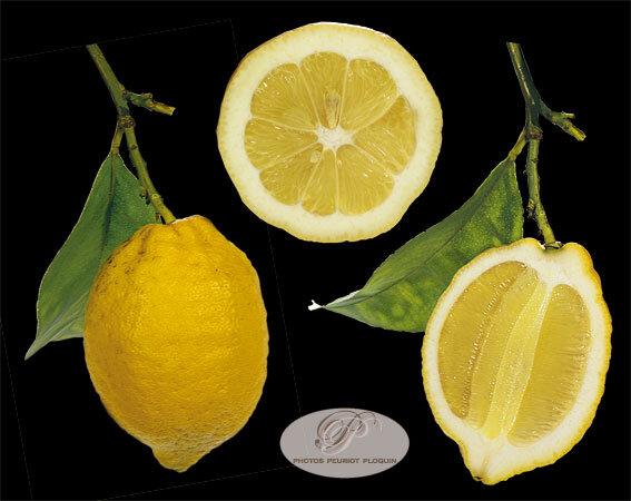 CITRON_DE_MENTON_Citrus_limon_entier_et_coupes