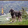 098_chien catalan