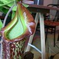 Un nepenthes