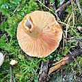 Lactarius salmonicolor