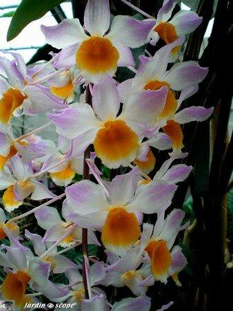 Dendrobium_Mousmee