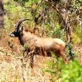 Hypotrague mâle, PN Boubandjida, Cameroun
