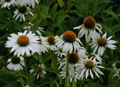 Echinacea 'Happy Star'400