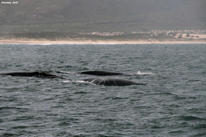3 baleines près du bateau
