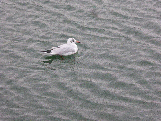 mouette_rieuse-2