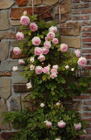 eden_rose