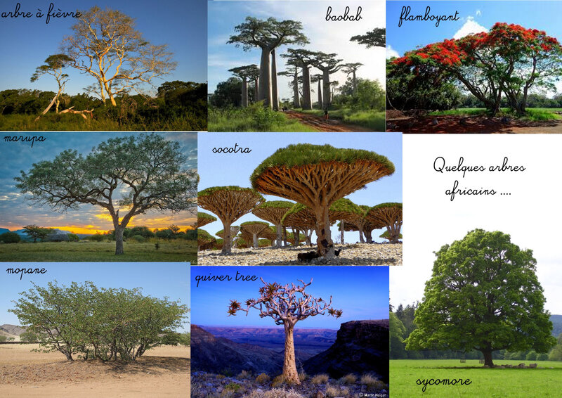 arbres africains