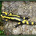 Salamandre le Poizat (Ain)