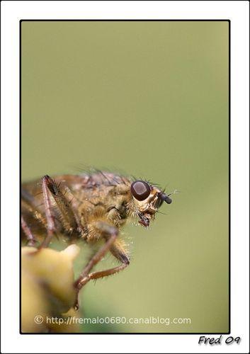 Scathophaga sp