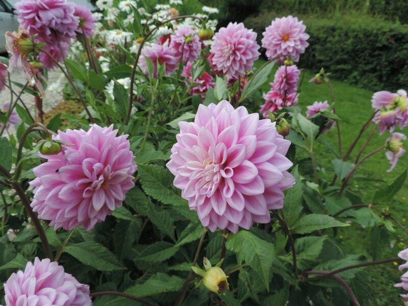 Fleurs de Jacqueline 080116 (4)