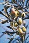 fruit_arbre_botanique_olives_six_19329