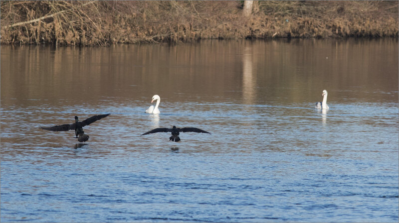 oiseau cygnes cormorans 240119 ym 5