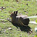 Mara ou lièvre de Patagonie