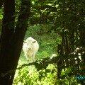 vache dans la verdure