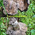 Russula nigricans