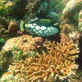 baliste clown au milieu des coraux